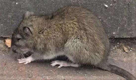 dératisation bruxelles rat méfiant
